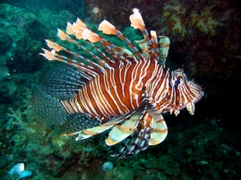 common_lionfish