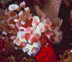 harlequin-shrimp-pao-reef-moz