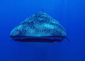 Whale Shark in Jangamo