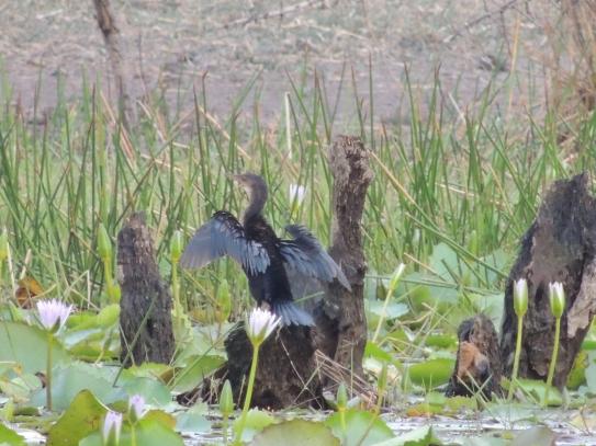 cormoran-africano