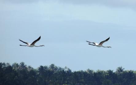 flamingos-en-vuelo-retocada
